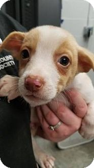 Chihuahua Mix Puppy for adoption in Paducah, Kentucky - Peanut