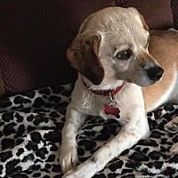 Beagle Mix Dog for adoption in Herndon, Virginia - Odie