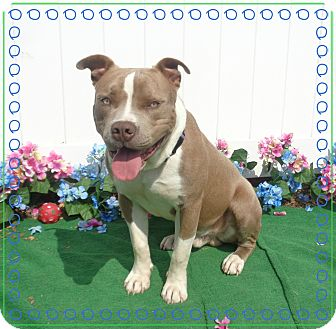 Pit Bull Terrier/American Pit Bull Terrier Mix Dog for adoption in Marietta, Georgia - GUSTON