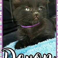Bombay Kitten for adoption in Edwards AFB, California - Devon