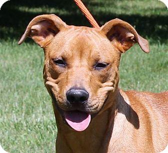 Shepherd (Unknown Type)/Rhodesian Ridgeback Mix Dog for adoption in Mukwonago, Wisconsin - **DAISY**