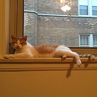 Domestic Shorthair Cat for adoption in Chicago, Illinois - Abbott