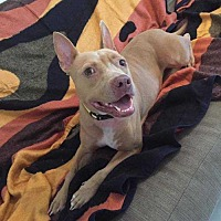 Adopt A Pet :: Mac* - Tampa, FL