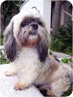 Lhasa Apso Dog for adoption in Los Angeles, California - BRONSON