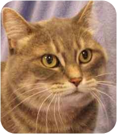 Domestic Shorthair Cat for adoption in Walker, Michigan - Isis