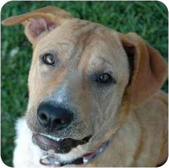 Shar Pei/Labrador Retriever Mix Dog for adoption in Westfield, New York - Sunshine