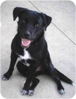 Labrador Retriever/Australian Cattle Dog Mix Dog for adoption in Wahoo, Nebraska - Ace