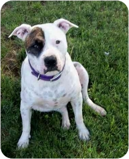 Pointer/American Bulldog Mix Dog for adoption in Sacramento, California - Spartos