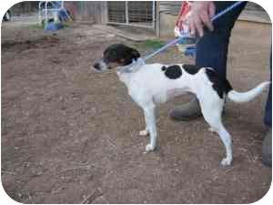 Rat Terrier Mix Dog for adoption in Fairmount, Georgia - Sara