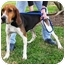 Photo 2 - Coonhound Dog for adoption in Sugar Land, Texas - Lilly
