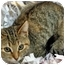 Photo 3 - Domestic Shorthair Kitten for adoption in Mt. Prospect, Illinois - Ariel