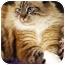 Photo 1 - Himalayan Cat for adoption in Encinitas, California - Crystal