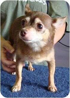 Chihuahua Mix Dog for adoption in Harrisonburg, Virginia - Cocoa