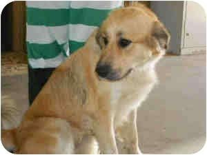 Golden Retriever Mix Dog for adoption in Yuba City, California - Sadie aka Molly
