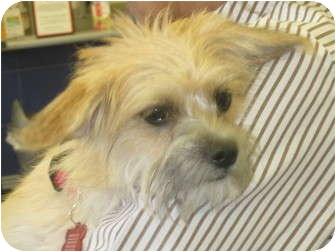 Terrier (Unknown Type, Small) Mix Puppy for adoption in Sacramento, California - Dottie