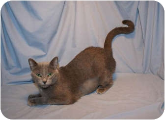 Russian Blue Cat for adoption in Houston, Texas - Beauty