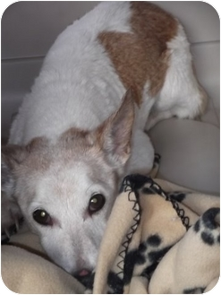 Jack Russell Terrier Mix Dog for adoption in White Settlement, Texas - Minny-Adoption Pending