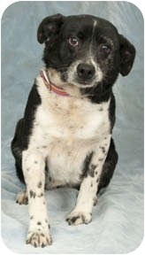Border Collie Mix Dog for adoption in Chicago, Illinois - Susie-Q