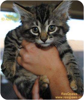 Domestic Mediumhair Kitten for adoption in Yuba City, California - Mary