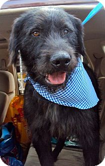 Giant Schnauzer Mix Dog for adoption in San Diego, California - Gandolfi