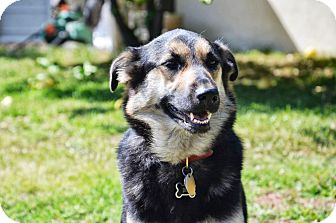 Shepherd (Unknown Type)/Collie Mix Dog for adoption in Bellflower, California - Molly - 45 lbs.