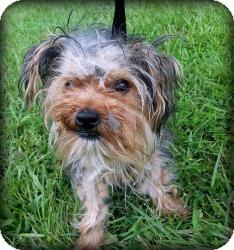 Yorkie, Yorkshire Terrier Puppy for adoption in Suwanee, Georgia - Tara
