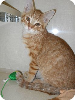 Domestic Shorthair Cat for adoption in Morden, Manitoba - Quest
