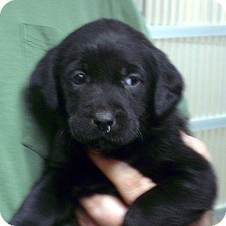 Labrador Retriever Mix Puppy for adoption in Greencastle, North Carolina - DR Pepper