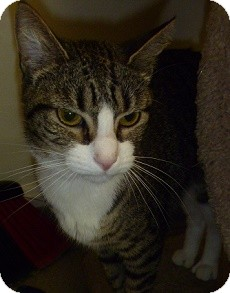 Domestic Shorthair Cat for adoption in Hamburg, New York - Nancy