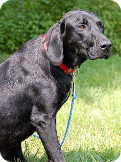 Labrador Retriever/Hound (Unknown Type) Mix Dog for adoption in Cincinnati, Ohio - Gibbs
