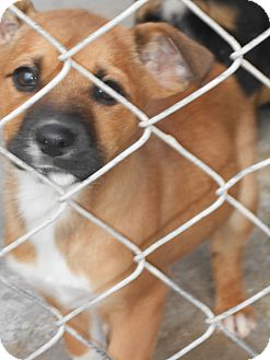 Boxer/Collie Mix Puppy for adoption in Falls Mills, Virginia - Hank