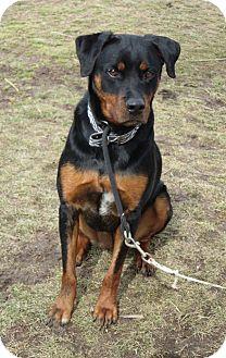 Rottweiler Dog for adoption in Elizabeth City, North Carolina - Navah   Urgent