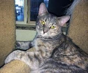 Domestic Shorthair Cat for adoption in Mission Viejo, California - L'oreal