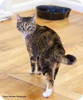 Domestic Shorthair Cat for adoption in Knoxville, Tennessee - Penny