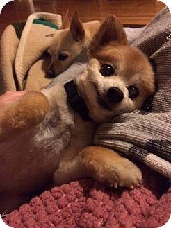 Pomeranian Mix Dog for adoption in Homewood, Alabama - Roxie