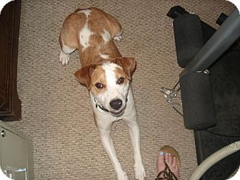 Jack Russell Terrier/Hound (Unknown Type) Mix Puppy for adoption in Blue Bell, Pennsylvania - Jazzy
