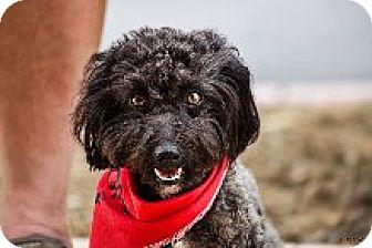 Poodle (Miniature) Mix Dog for adoption in Las Vegas, Nevada - Jasper