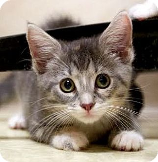 Domestic Shorthair Kitten for adoption in Montclair, New Jersey - Hedwig