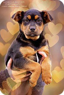 Rottweiler/German Shepherd Dog Mix Puppy for adoption in Cincinnati, Ohio - Rita