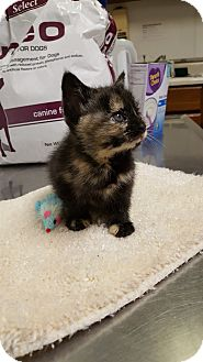 Domestic Shorthair Kitten for adoption in Mine Hill, New Jersey - Ursula