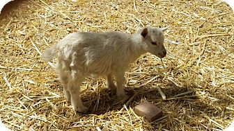 Goat for adoption in Palmdale, California - Lacey