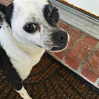Chihuahua Dog for adoption in Killian, Louisiana - Finley