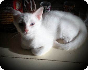 Siamese Kitten for adoption in Fairborn, Ohio - Arnie