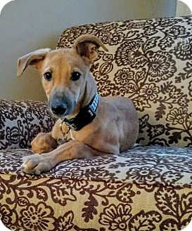 Greyhound Puppy for adoption in Tucson, Arizona - Autumn
