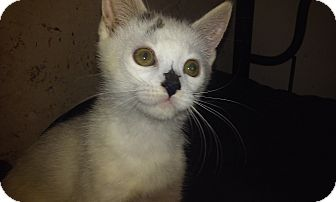 Domestic Shorthair Kitten for adoption in Columbus, Ohio - Ned
