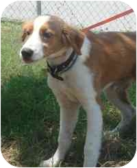 Brittany/Pointer Mix Dog for adoption in Brenham, Texas - Rusty