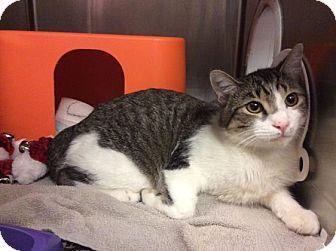 Domestic Shorthair Cat for adoption in Janesville, Wisconsin - Wonder