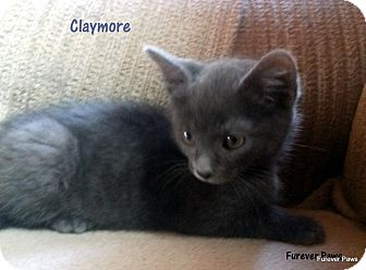 Russian Blue Kitten for adoption in Golsboro, North Carolina - Claymore