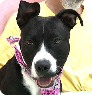 American Pit Bull Terrier Mix Dog for adoption in Evansville, Indiana - Ms. Love
