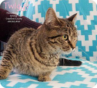 Domestic Shorthair Cat for adoption in Bucyrus, Ohio - Twiggy